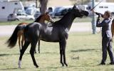 Gorgeous Black SE Gelding on HorseYard.com.au (thumbnail)