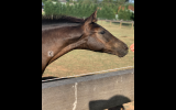 Warmblood x Welsh Weanling Filly on HorseYard.com.au (thumbnail)