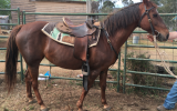Lovely Quiet QH Mare on HorseYard.com.au (thumbnail)