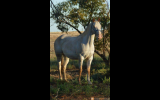 8 yr old 14.2hh unreged appy mare on HorseYard.com.au (thumbnail)