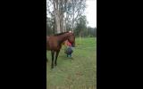Sweet natured gelding  on HorseYard.com.au (thumbnail)