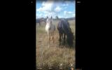 palomino roan filly on HorseYard.com.au (thumbnail)