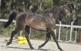 Ripple FX Skye on HorseYard.com.au (thumbnail)