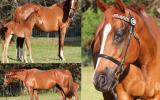 STUNNING GALLOWAY INFOAL FOR A GUARANTEED PALOMINO FOAL ! on HorseYard.com.au (thumbnail)