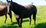 Duchess black stock horse mare on HorseYard.com.au (thumbnail)