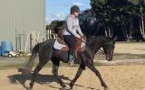 Stockhorse Gelding on HorseYard.com.au (thumbnail)