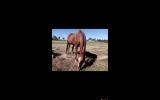 Beautiful retired schoolmaster - free to good home on HorseYard.com.au (thumbnail)