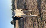 Unbroken paint cross pony  on HorseYard.com.au (thumbnail)