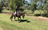 Super Quiet Little Mare on HorseYard.com.au (thumbnail)