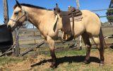 Quarter Horse Buckskin Mare on HorseYard.com.au (thumbnail)