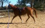 Paint x QH mare on HorseYard.com.au (thumbnail)