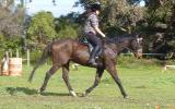 Thoroughbred Gelding on HorseYard.com.au (thumbnail)