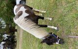 Pretty coloured filly  on HorseYard.com.au (thumbnail)