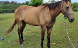Buckskin Gelding on HorseYard.com.au (thumbnail)