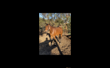 Stunning, quiet  5 yo mare for project or breeding on HorseYard.com.au (thumbnail)