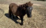 Gelding and stallion miniature ponies - must be sold together on HorseYard.com.au (thumbnail)
