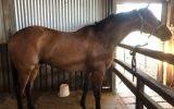 9 years OTT Thoroughbred Gelding on HorseYard.com.au (thumbnail)