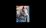 Registered Welsh A Mare on HorseYard.com.au (thumbnail)
