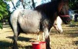 mini mare shetland blue roan mare on HorseYard.com.au (thumbnail)