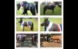 Miniature Horses on HorseYard.com.au (thumbnail)