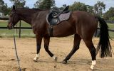 Warmblood Gelding on HorseYard.com.au (thumbnail)