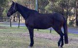 Stock Horse Gelding  on HorseYard.com.au (thumbnail)