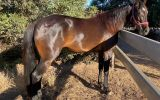 4yo standardbred mare on HorseYard.com.au (thumbnail)