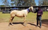 QH Gelding  on HorseYard.com.au (thumbnail)
