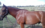 Give Chance a chance on HorseYard.com.au (thumbnail)