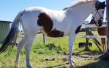 Pinto filly on HorseYard.com.au (thumbnail)