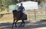 7yo Bay Dun Quarter horse x TB gelding on HorseYard.com.au (thumbnail)