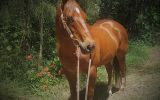 2001 Stunning QH Chestnut Solid Gelding Docs Spinifex Grandson- Cutting Lines 15.2hh on HorseYard.com.au (thumbnail)