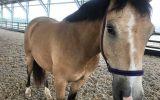 Beautiful Buckskin Pony on HorseYard.com.au (thumbnail)