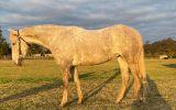 5yo ASH Esk on HorseYard.com.au (thumbnail)