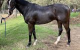 Stunning 7yo 16.2hh TB Gelding with loads of potential! on HorseYard.com.au (thumbnail)