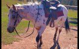 Leopard Appaloosa  on HorseYard.com.au (thumbnail)