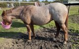 Red Roan Broodie on HorseYard.com.au (thumbnail)