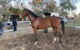 """BOOTS"" newcomer OTT hunter on HorseYard.com.au (thumbnail)"