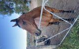 ASH mare on HorseYard.com.au (thumbnail)