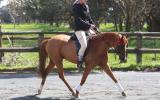:Heartbreaking Decision To Sell This Lovely Pony on HorseYard.com.au (thumbnail)