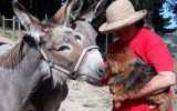 Pair of Australian Teamster Jenny Donkeys on HorseYard.com.au (thumbnail)