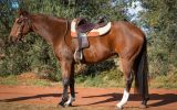 Kind, Sensible ASH Gelding  on HorseYard.com.au (thumbnail)