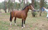 Anglo Arabian Mare on HorseYard.com.au (thumbnail)