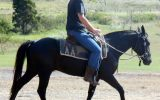 Quiet Jet Black QH Gelding + VIDEO+ on HorseYard.com.au (thumbnail)