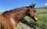 All rounder with good basic education  on HorseYard.com.au (thumbnail)
