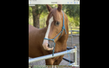 Bodie charismatic all rounder Clydie X TB  on HorseYard.com.au (thumbnail)