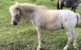 Palouse pony gelding on HorseYard.com.au (thumbnail)