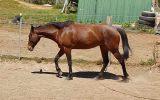 Trail horse 14hh stockhorse on HorseYard.com.au (thumbnail)