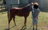 Welsh x Arab Pony on HorseYard.com.au (thumbnail)