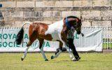 Arabec Azaar on HorseYard.com.au (thumbnail)